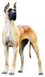 Pedigree Great Dane Dog over the white background