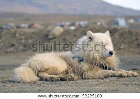 Pedigree Husky dog - stock photo