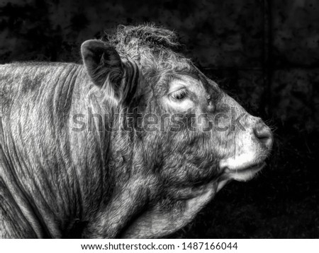 Pedigree limousin bull portrait with dark background #1487166044