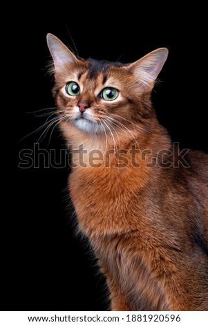 Pedigree orange Somali cat photographed indoors in studio on black background. Zdjęcia stock ©