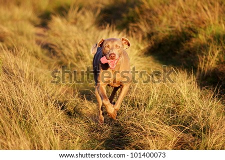 Pedigree weimaraner dog running in this portrait from South Africa