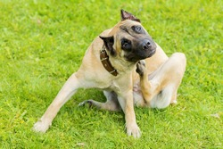 pedigree young dog Cane Corso itching scratching himself and biting fleas, ticks, lice. pet allergy