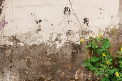 Peeling gray-white wall with cracks and celandine with yellow flowers. Crumbling plaster of an abandoned building and a sprouting plant