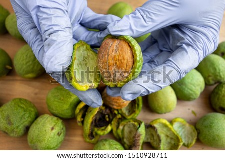 Peeling of walnuts. Hands in gloves peel a green rind or cover of nuts. Seasonal autumn harvest processing preparation of organic food before storage #1510928711