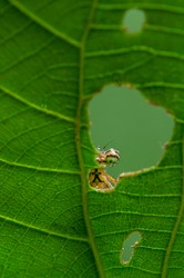 Peeping through the natural window. A damselfly looking from the hole of a leave.