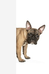 Peeping. Young brown French Bulldog playing isolated on white studio background. Young doggy, pet looks playful, cheerful, sincere kindly. Concept of motion, action, pet's love, dynamic. Copyspace.