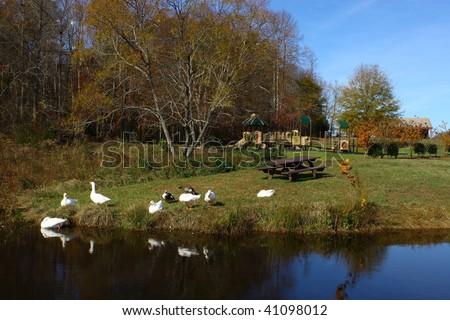 stock-photo-pekin-ducks-at-the-park-41098012.jpg