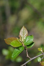 Peking cotoneaster - Latin name - Cotoneaster acutifolius