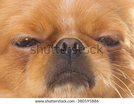 Pekingese muzzle, close-up #380595886