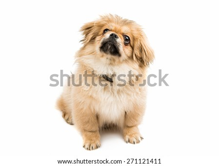 pekingese portrait on a white...