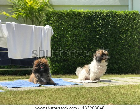 Pekingeses puppies (Mocha & Latte) taking a sunbath drying after bath time on summer holiday #1133903048