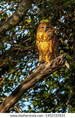 Pel's Fishing Owl Latin name: Scotopelia peli Foto stock ©