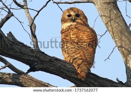 Pel's Fishing Owl on an open branch Foto stock ©