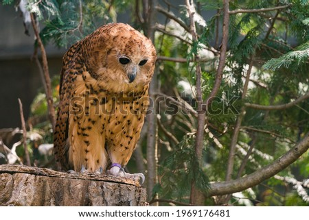Pel's fishing owl, Scotopelia peli, beautiful bird in the forest tree habitat, Okavango delta, Moremi, Botswana in Africa. Big brown owl hidden in the green vegetation, wildlife scene from nature. Foto stock ©