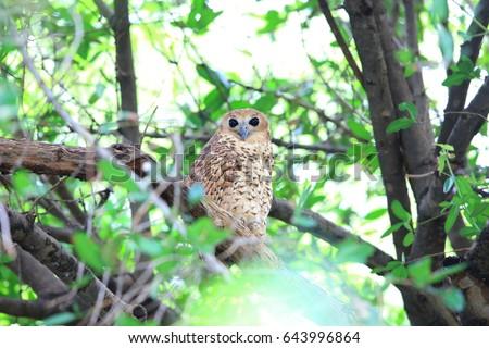 Pel's fishing owl (Scotopelia peli) in Zambia Foto stock ©