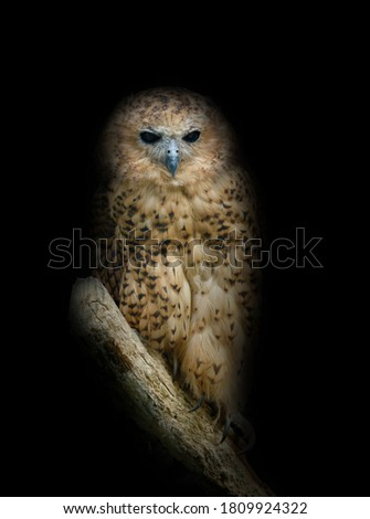 Pel's fishing owl, Scotopelia peli, perched on branch isolated on black background. Large african nocturnal owl. One of the largest owl in the world. Low key photo. Foto stock ©