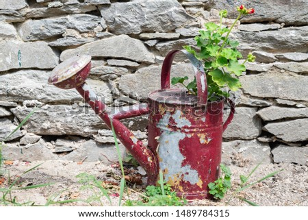 Pelargonium geranium plant growing in rustical red water tin can outdoors with stone brick wall background