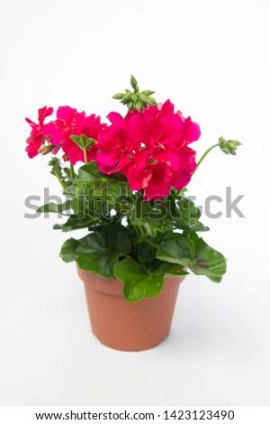 Pelargonium Peltatum Grp Toscana Josina #1423123490