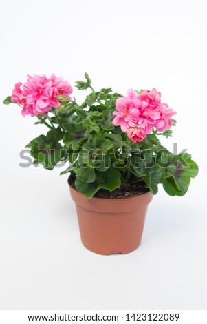 Pelargonium Peltatum Grp Toscana Sil Erke #1423122089