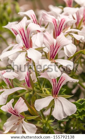 Pelargonium plant blooming with pink colored flowers with a purple pelargonium plant blooming with pink colored flowers with a purple heart and yellow stamens mightylinksfo