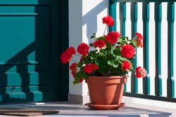 Pelargonium plants in front of a green door and a white wall, the colors of Italy.
