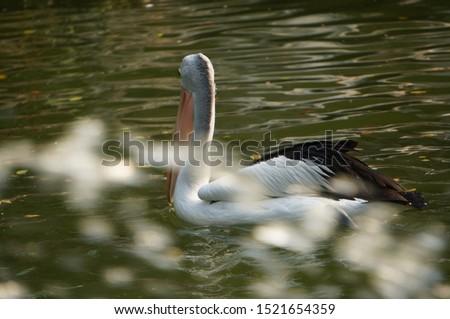 Pelecanus, a water bird that has a sac under its beak, Indonesia
