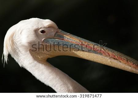 Pelican #319871477