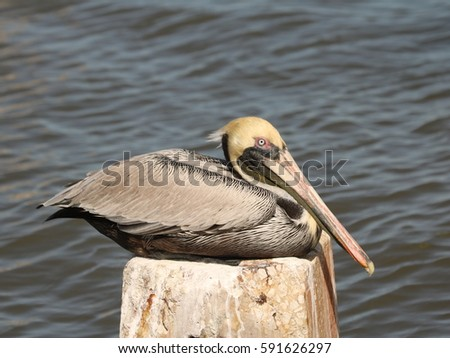 pelican at rest by the ocean in ...
