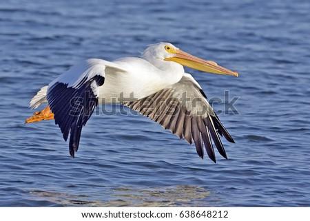 Shutterstock pelican bird wallpaper , background (flying)