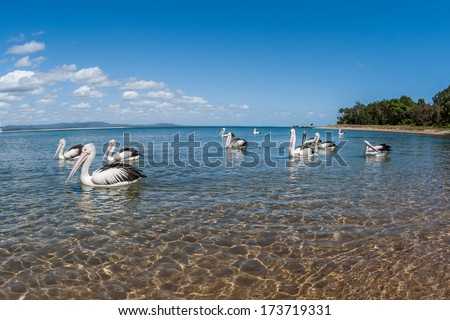 Pelican Birds Blue Lagoon Pelican birds in their blue water river estuary lagoon habitat.