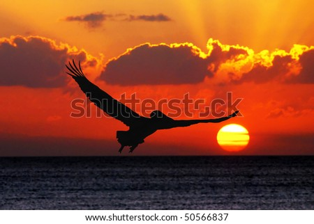 Pelican flying in sunset
