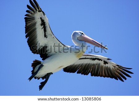 Pelican flying over Forster