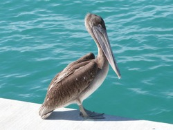 Pelican in harbor of keywest