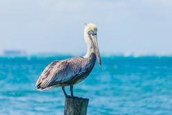 Pelican in the ocean, Sea Bird