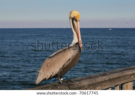 Pelican on wooden railing
