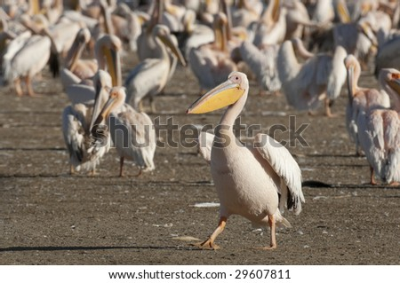 Pelican (Pelecanus Onocrotalus) walk in front of flock in  Nakuru Lake National Park, Kenya