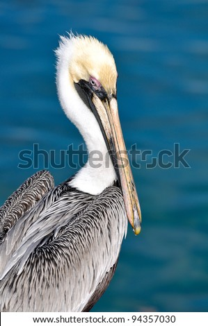 Pelican Portrait Close Up with Ocean in Background