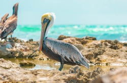 Pelican posing for portraiture in the Caribbean