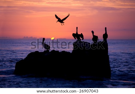 Pelican rest in sunrise/sunset in the pacific ocean off of cabo san lucas
