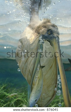 Pelican scooping up a fish