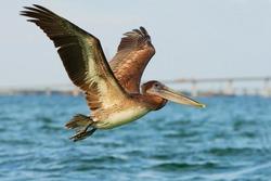Pelican starting in the blue water, nature habitat, coast of Florida, USA. Wildlife scene from ocean.