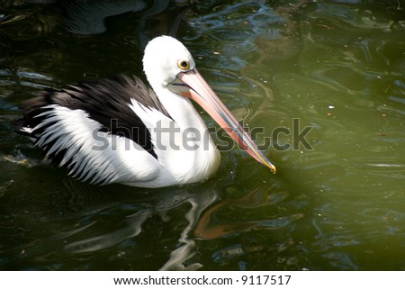 Pelican swimming in green pond
