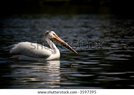 pelican swimming up river by fishing bridge in yellowstone national park, wyoming