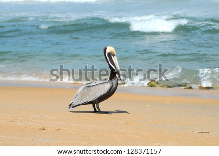 Pelican walking on the beach in Cape Hatteras.
