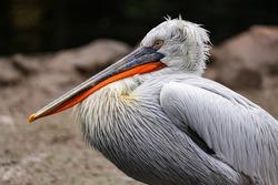 Pelican with a beautiful orange beak