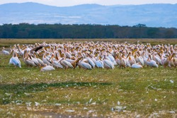 Pelicans. A flock of pelicans stand on the grass. Grass next to the pelicans is covered with feathers. Birds are preparing for Migration. Big birds while resting. Safari tour. Africa. Kenya.