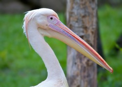 Pelicans are a large water birds. They are characterized by a long beak and a large throat pouch used for catching prey and draining water from the scooped-up contents before swallowing
