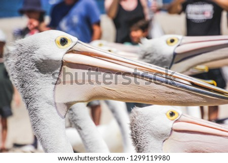 Pelicans at a beach on the Gold Coast in Australia