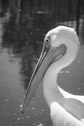 Pelicans by the water. Waterfowl. Wildlife birds. Birds at the zoo. Long beak. Light plumage. Fidelity in nature.
