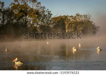 Pelicans fishing in the early morning sunlight and fog near Waikerie on the Murray River in South Australia